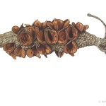 Banksia seedpod. Watercolour