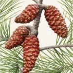 Qld Governor General's Annual Report illustration - Aleppo pine. Watercolour