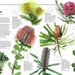 Australian Geographic nature watch article - Banksias