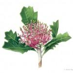 Banksia cuneata - Matchstick Banksia. Watercolour
