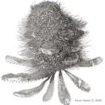 Banksia seratifolia