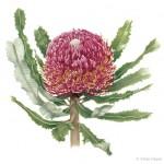 Banksia menziesii - Firewood Banksia. Watercolour