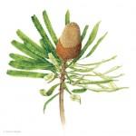 Banksia prionotes - Acorn Banksia. Watercolour