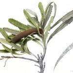 Banksia serrata. Watercolour