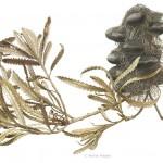 Banksia serrata with seedpod. Watercolour