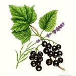 Petit Cordial - Blackcurrant & Lavender label illustration. Watercolour