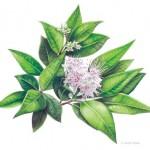 Backhousia myrtifolia - Cinnamon Myrtle. Watercolour