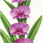 Qld Governor General's Annual Report illustration - Cooktown orchid. Watercolour