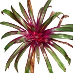 Bromeliad. Watercolour