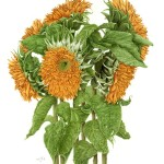 "Helianthus annuus - ""Double Sunflower"". Watercolour"