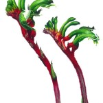 "Anigozanthos manglesii - ""Mangles Kangaroo Paw"". Watercolour"