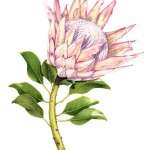 Protea cynaroides - King Protea. Watercolour
