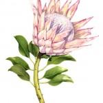 Protea cynaroides - King Protea. Watercolour