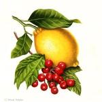 Petit Cordial - Pink Lemonade label illustration. Watercolour