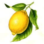 Petit Cordial - Lemonade label illustration. Watercolour