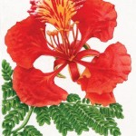 Qld Governor General's Annual Report illustration - Poinciana. Watercolour