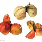 Harpullia pendula - Tulipwood seedpods. Watercolour